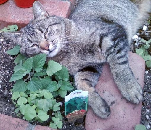 cat kitten eating sniffing licking catnip garden